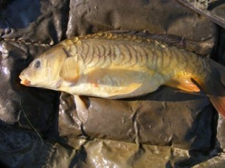 Small Bulters Pool Mirror Carp