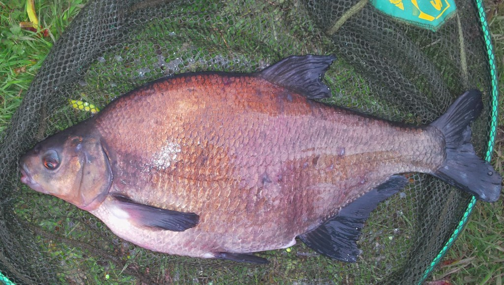 Mousecroft Bream